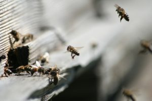 honey-bees-277478_1280